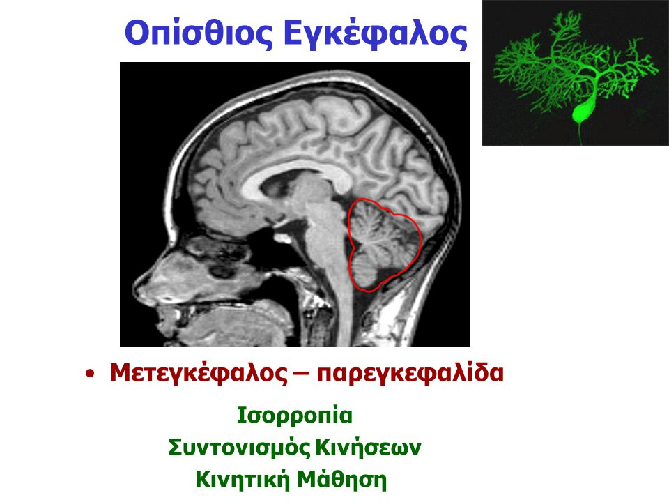 Μετεγκέφαλος – παρεγκεφαλίδα