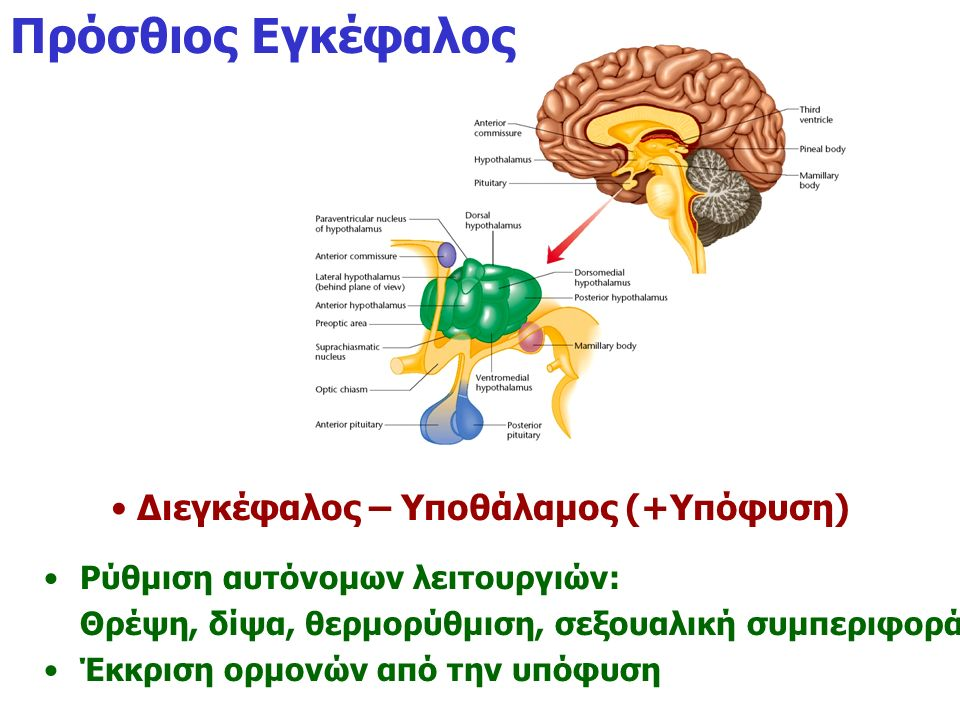 Διεγκέφαλος – Υποθάλαμος (+Υπόφυση)