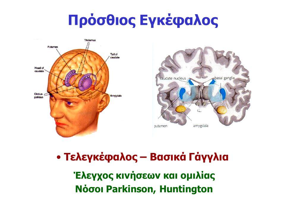 Πρόσθιος Εγκέφαλος Τελεγκέφαλος – Βασικά Γάγγλια