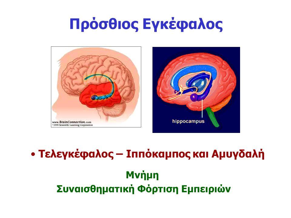 Πρόσθιος Εγκέφαλος Τελεγκέφαλος – Ιππόκαμπος και Αμυγδαλή Μνήμη