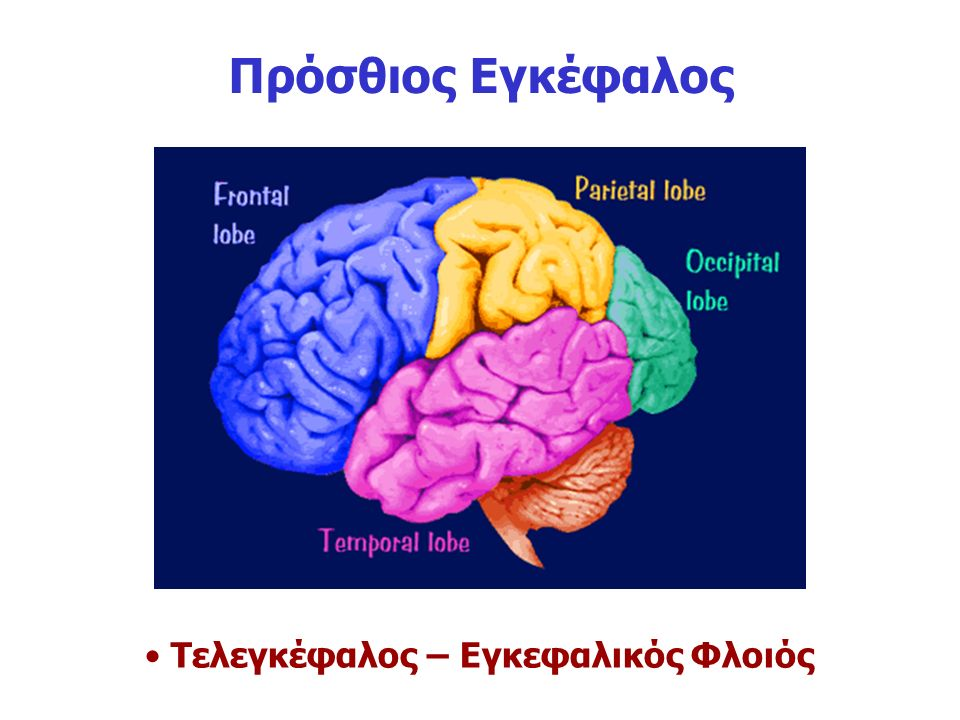 Τελεγκέφαλος – Εγκεφαλικός Φλοιός