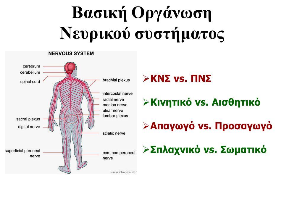 Βασική Οργάνωση Νευρικού συστήματος