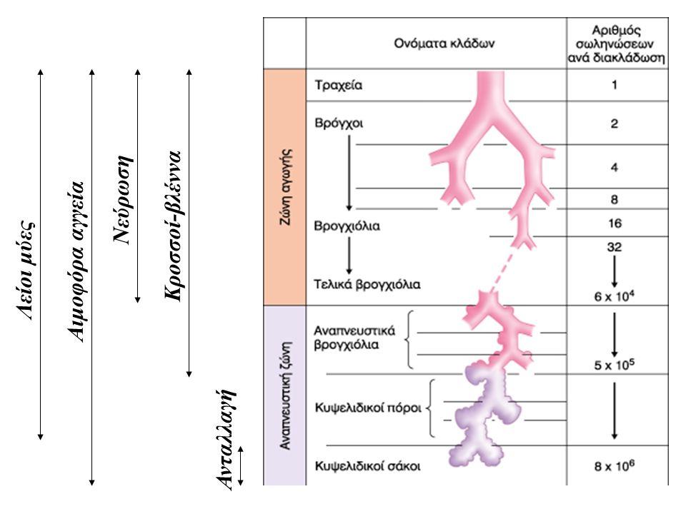 Νεύρωση Κροσσοί-βλέννα Αιμοφόρα αγγεία Λείοι μύες Ανταλλαγή