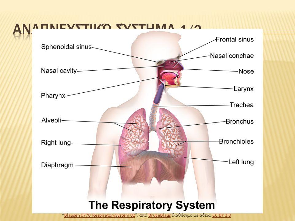 Άνω αναπνευστικό σύστημα