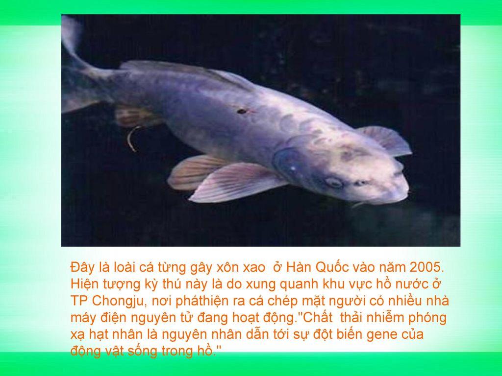 Đây là loài cá từng gây xôn xao ở Hàn Quốc vào năm 2005.