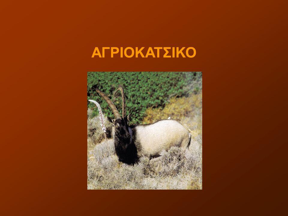 ΑΓΡΙΟΚΑΤΣΙΚΟ