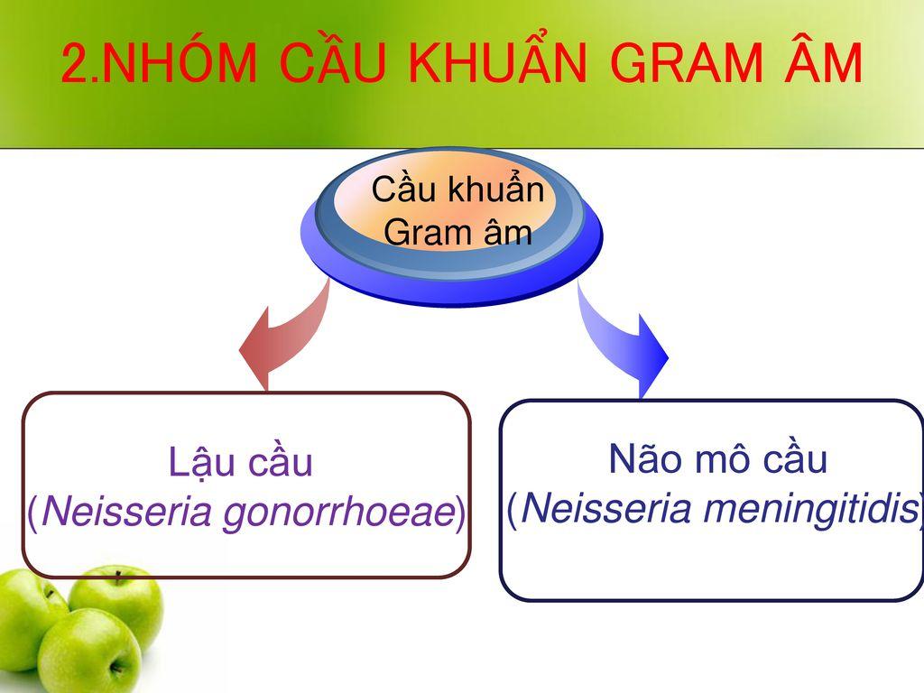 2.NHÓM CẦU KHUẨN GRAM ÂM Lậu cầu Não mô cầu (Neisseria gonorrhoeae)