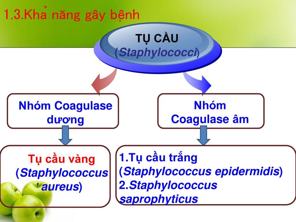 (Staphylococcus aureus)