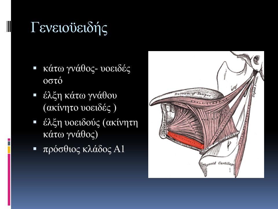 Γενειοϋειδής κάτω γνάθος- υοειδές οστό
