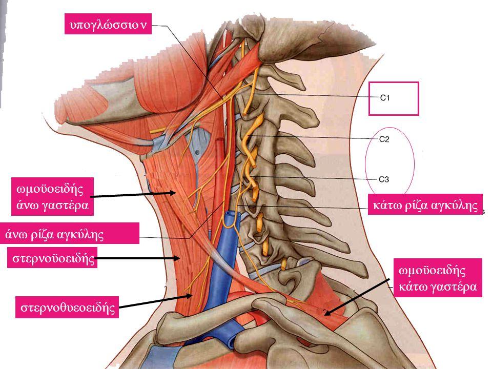 υπογλώσσιο ν ωμοϋοειδής. άνω γαστέρα. κάτω ρίζα αγκύλης. άνω ρίζα αγκύλης. στερνοϋοειδής. ωμοϋοειδής.