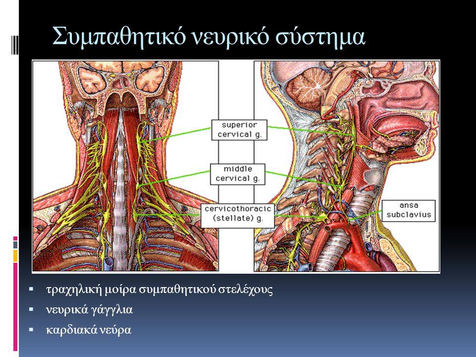 Συμπαθητικό νευρικό σύστημα