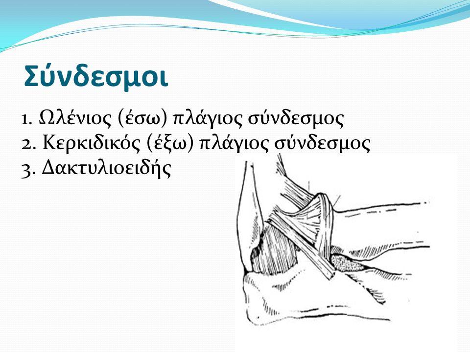 Σύνδεσμοι 1. Ωλένιος (έσω) πλάγιος σύνδεσμος