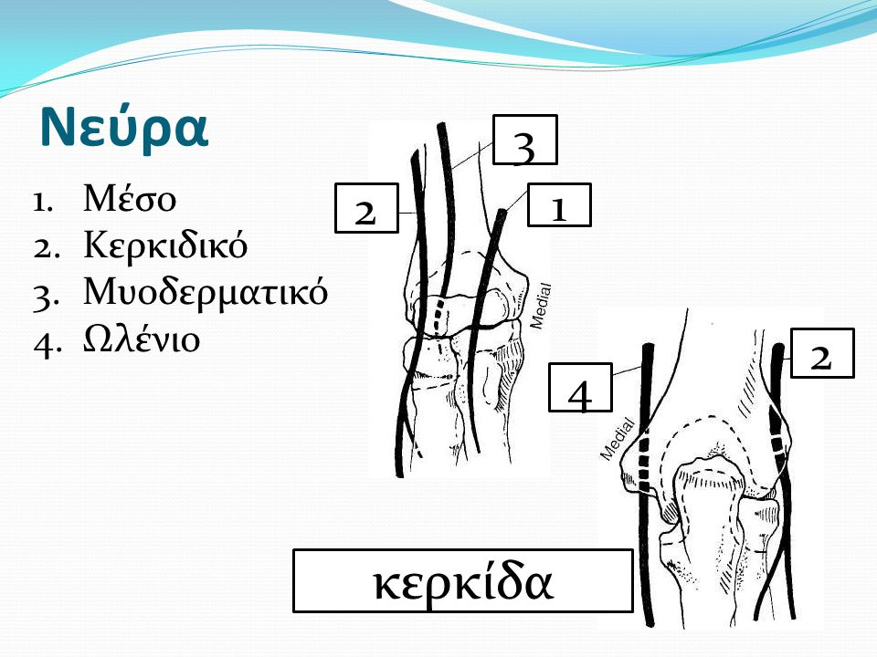 Νεύρα 3 Μέσο Κερκιδικό Μυοδερματικό Ωλένιο 2 1 2 4 κερκίδα