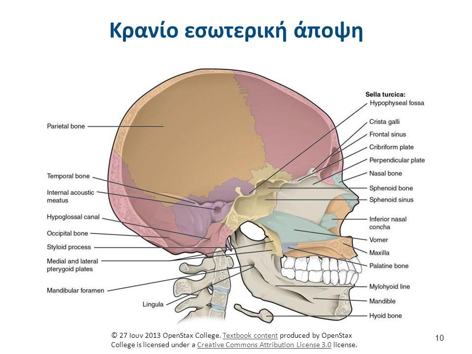 Σπονδυλική στήλη Αυχενική μοίρα 7 σπόνδυλοι. Θωρακική μοίρα