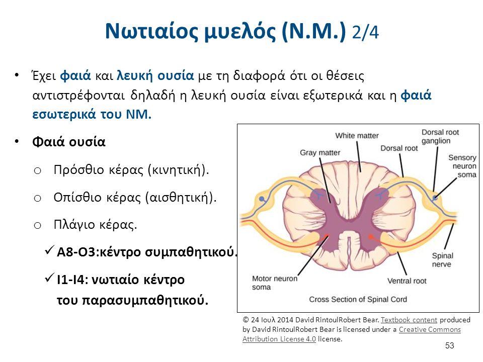 Νωτιαίος μυελός (Ν.Μ.) 3/4 Η φαιά ουσία του ΝΜ αποτελεί: