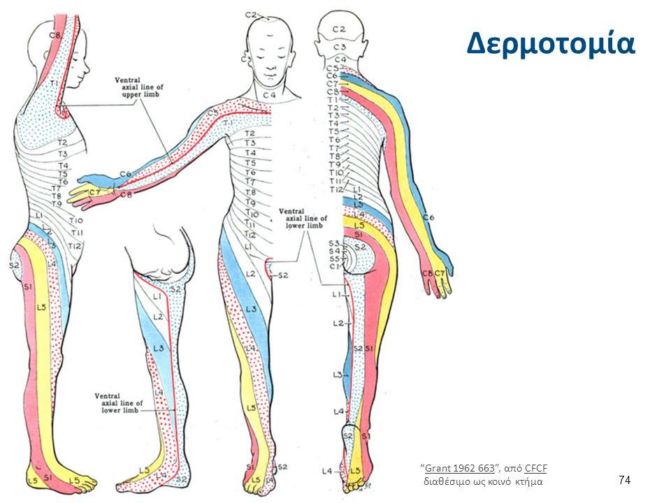 Νωτιαία νεύρα (Ν.Ν.) Εξέρχονται με δύο νωτιαίες ρίζες