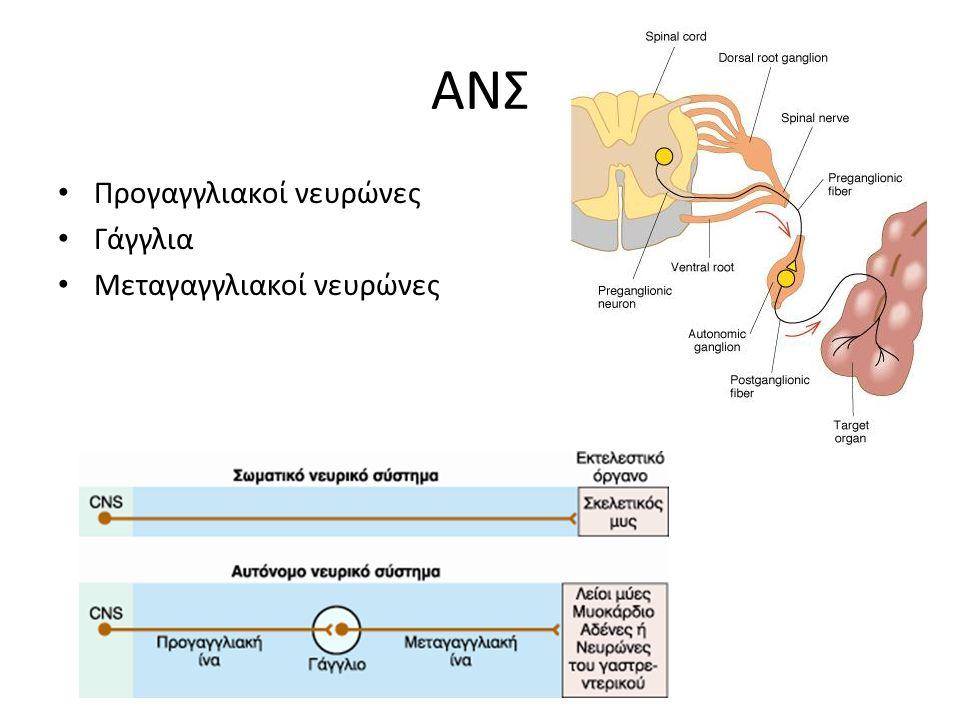 ΑΝΣ Προγαγγλιακοί νευρώνες Γάγγλια Μεταγαγγλιακοί νευρώνες