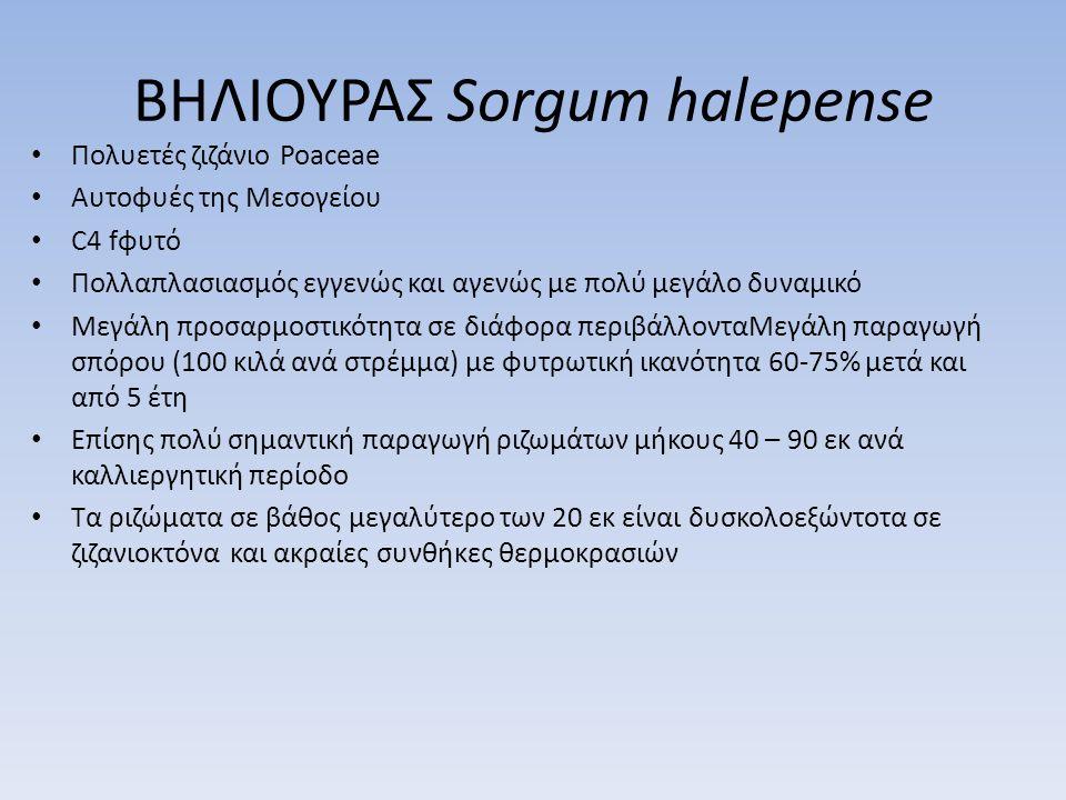 ΒΗΛΙΟΥΡΑΣ Sorgum halepense