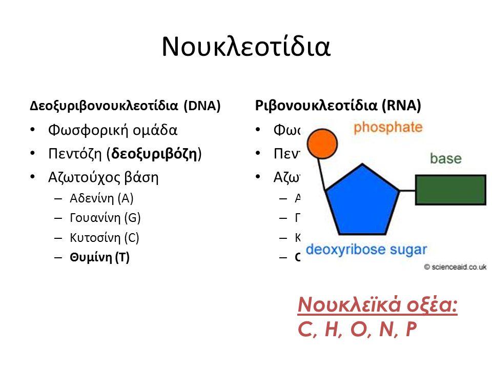 Νουκλεοτίδια Νουκλεϊκά οξέα: C, H, O, N, P Ριβονουκλεοτίδια (RNA)