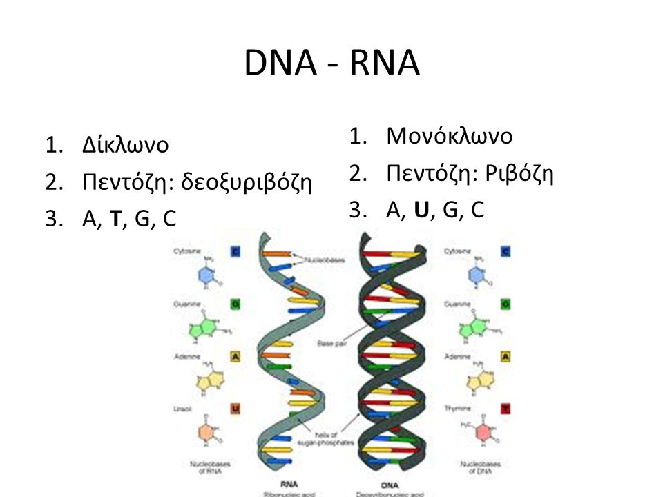 DNA - RNA Μονόκλωνο Δίκλωνο Πεντόζη: Ριβόζη Πεντόζη: δεοξυριβόζη