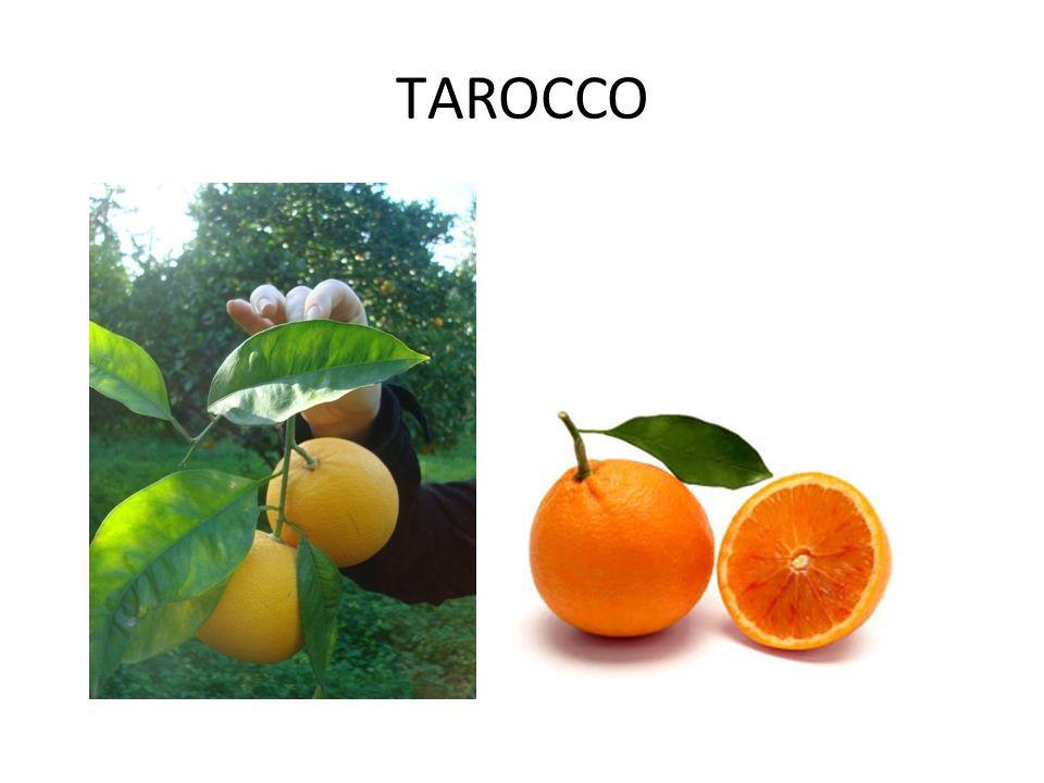 ΤAROCCO