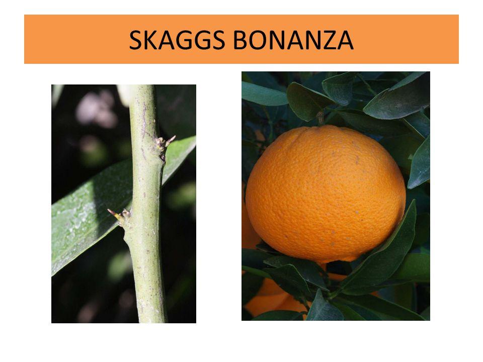 SKAGGS BONANZA