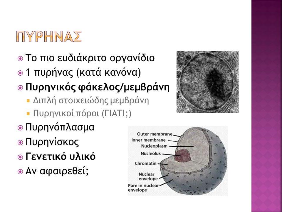 ΠΥΡΗΝΑΣ Το πιο ευδιάκριτο οργανίδιο 1 πυρήνας (κατά κανόνα)