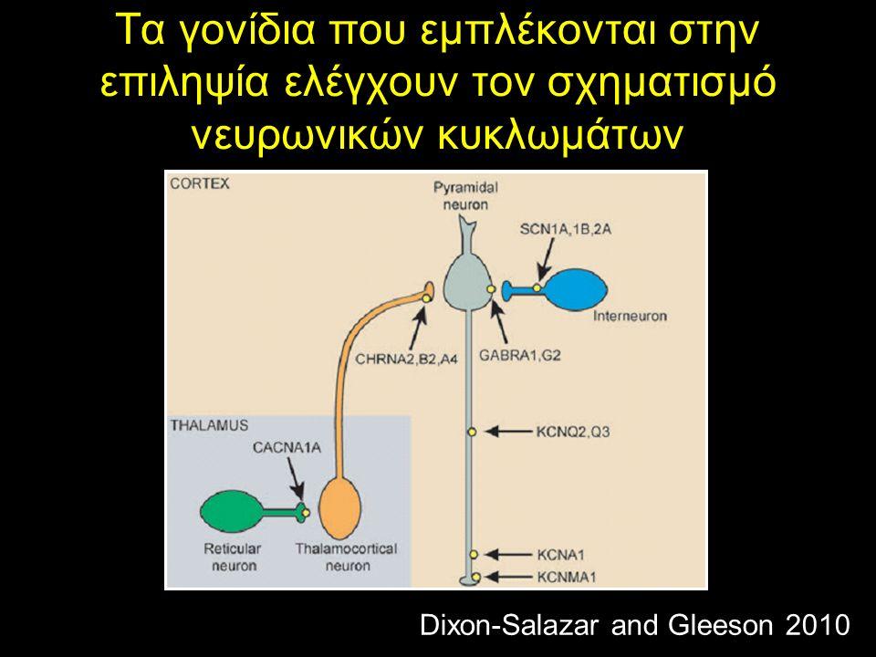 Τα γονίδια που εμπλέκονται στην επιληψία ελέγχουν τον σχηματισμό νευρωνικών κυκλωμάτων