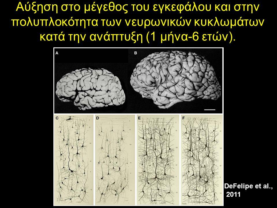 Αύξηση στο μέγεθος του εγκεφάλου και στην πολυπλοκότητα των νευρωνικών κυκλωμάτων κατά την ανάπτυξη (1 μήνα-6 ετών).