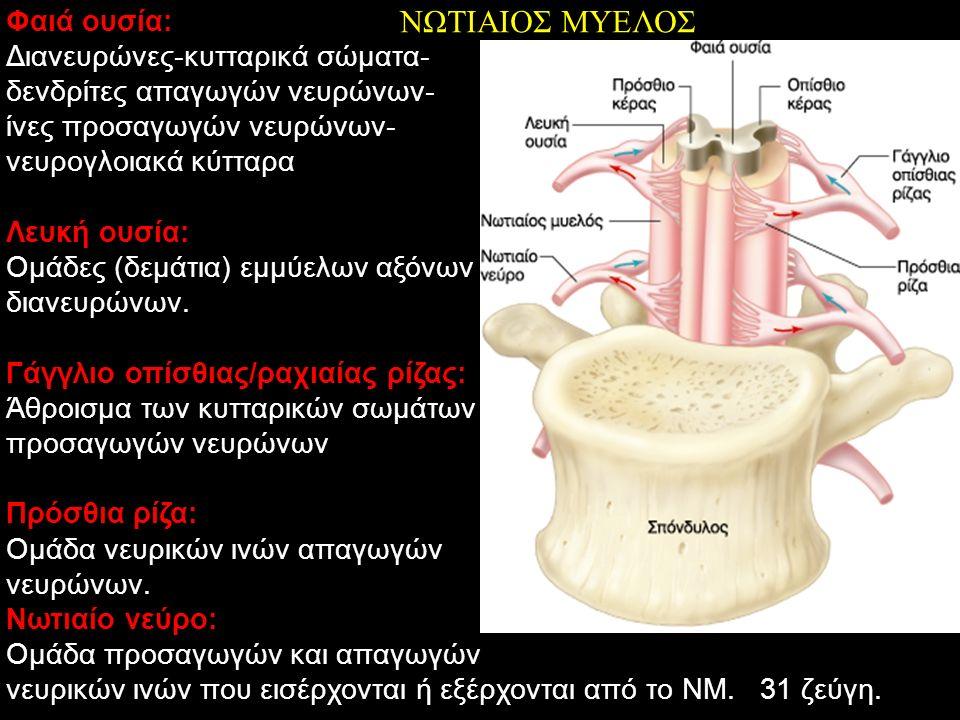 ΝΩΤΙΑΙΟΣ ΜΥΕΛΟΣ Φαιά ουσία: Διανευρώνες-κυτταρικά σώματα-