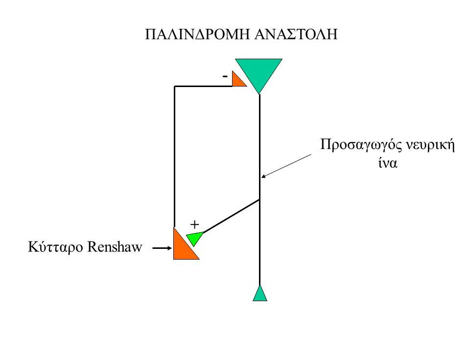 ΠΑΛΙΝΔΡΟΜΗ ΑΝΑΣΤΟΛΗ - Προσαγωγός νευρική ίνα + Κύτταρο Renshaw