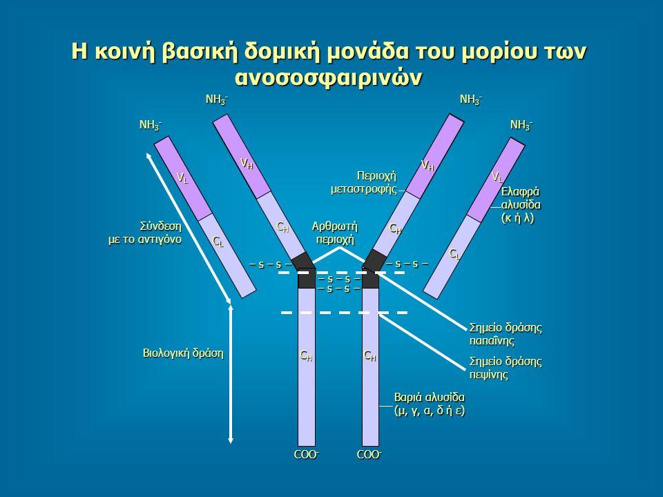 Η κοινή βασική δομική μονάδα του μορίου των ανοσοσφαιρινών