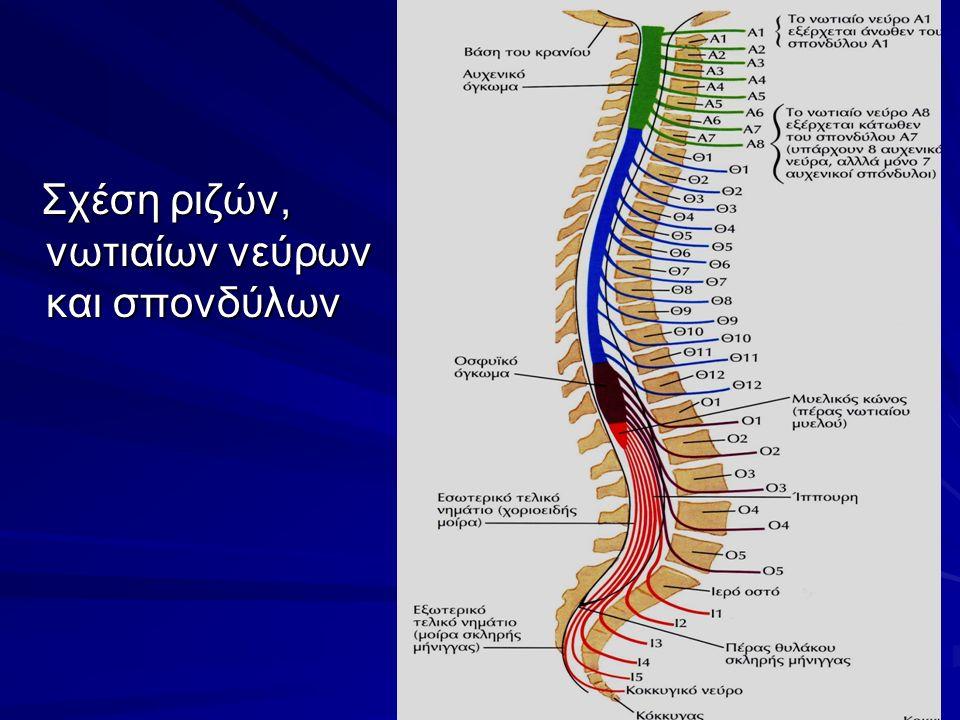 Σχέση ριζών, νωτιαίων νεύρων και σπονδύλων