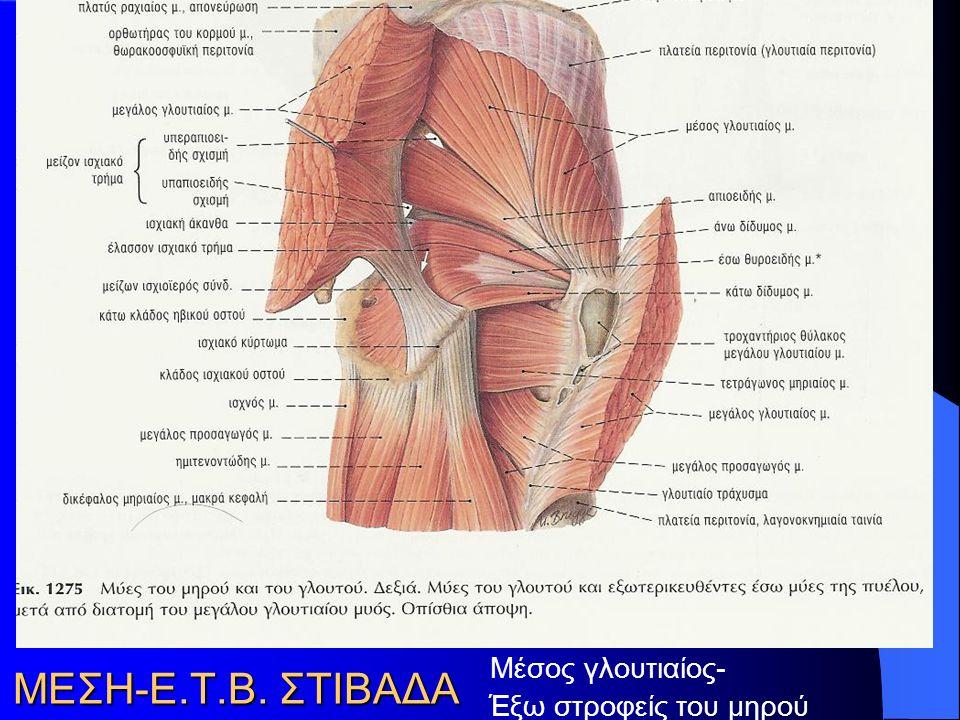 Μέσος γλουτιαίος- Έξω στροφείς του μηρού ΜΕΣΗ-Ε.Τ.Β. ΣΤΙΒΑΔΑ