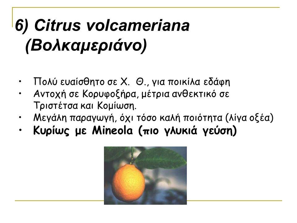 6) Citrus volcameriana (Βολκαμεριάνο)