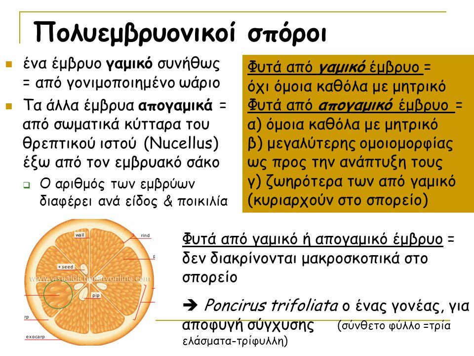 Πολυεμβρυονικοί σπόροι