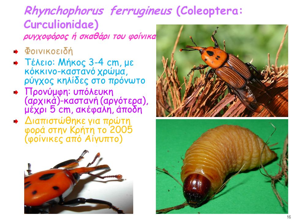 Rhynchophorus ferrugineus (Coleoptera: Curculionidae) ρυγχοφόρος ή σκαθάρι του φοίνικα