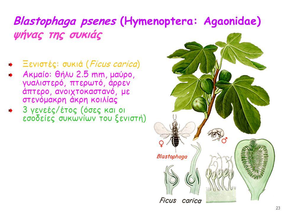 Blastophaga psenes (Hymenoptera: Agaonidae) ψήνας της συκιάς