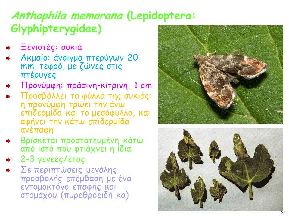 Anthophila memorana (Lepidoptera: Glyphipterygidae)