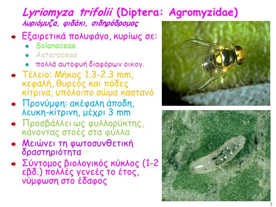 Lyriomyza trifolii (Diptera: Agromyzidae) λυριόμυζα, φιδάκι, σιδηρόδρομος