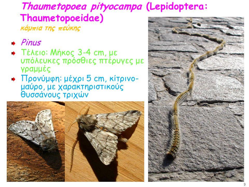 Thaumetopoea pityocampa (Lepidoptera: Thaumetopoeidae) κάμπια της πεύκης