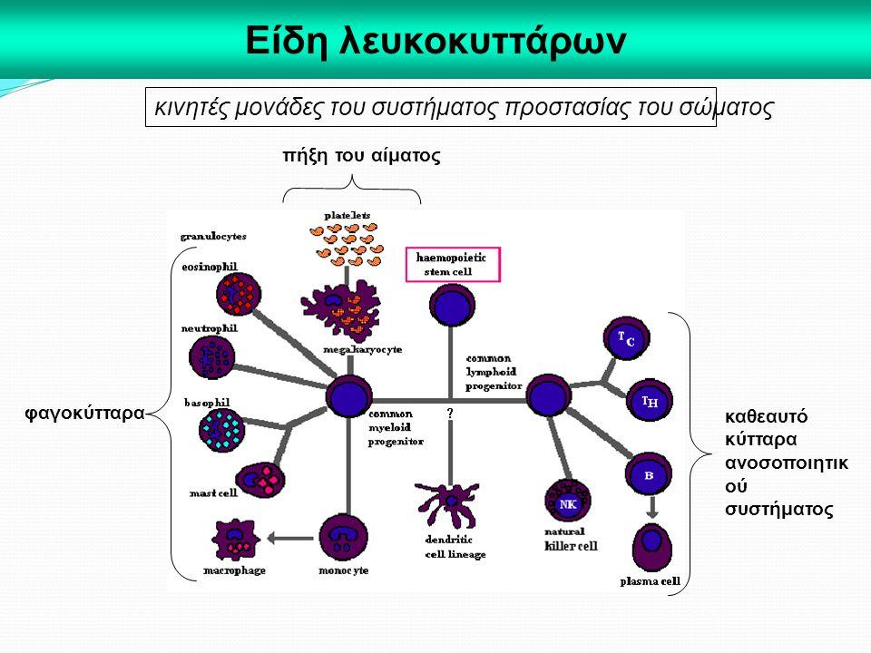 Είδη λευκοκυττάρων κινητές μονάδες του συστήματος προστασίας του σώματος. πήξη του αίματος. φαγοκύτταρα.