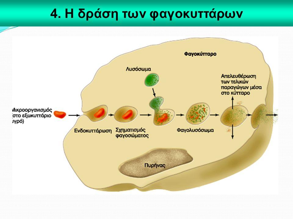4. Η δράση των φαγοκυττάρων