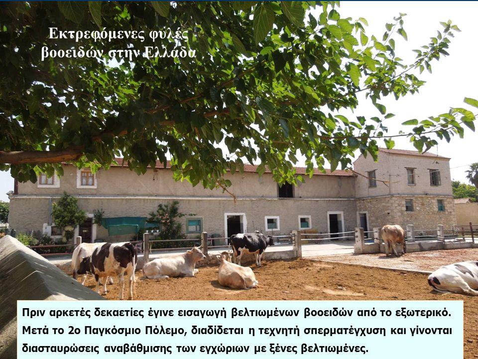 Εκτρεφόμενες φυλές βοοειδών στην Ελλάδα