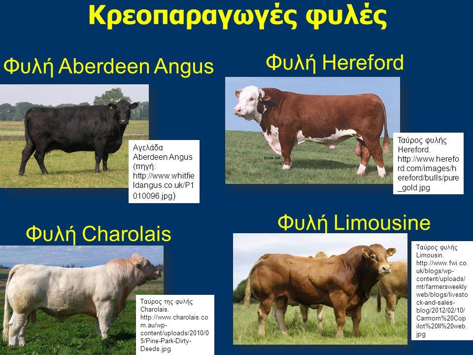 Κρεοπαραγωγές φυλές Φυλή Hereford Φυλή Aberdeen Angus Φυλή Limousine
