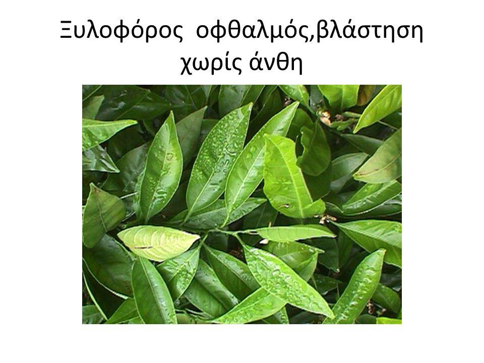 Ξυλοφόρος οφθαλμός,βλάστηση χωρίς άνθη