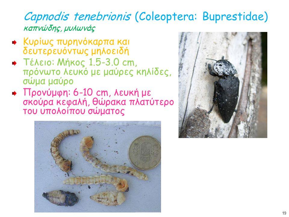 Capnodis tenebrionis (Coleoptera: Buprestidae) καπνώδης, μυλωνάς