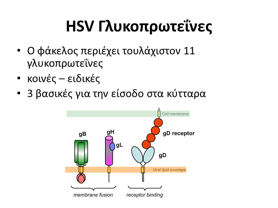 HSV Γλυκοπρωτεΐνες Ο φάκελος περιέχει τουλάχιστον 11 γλυκοπρωτεΐνες