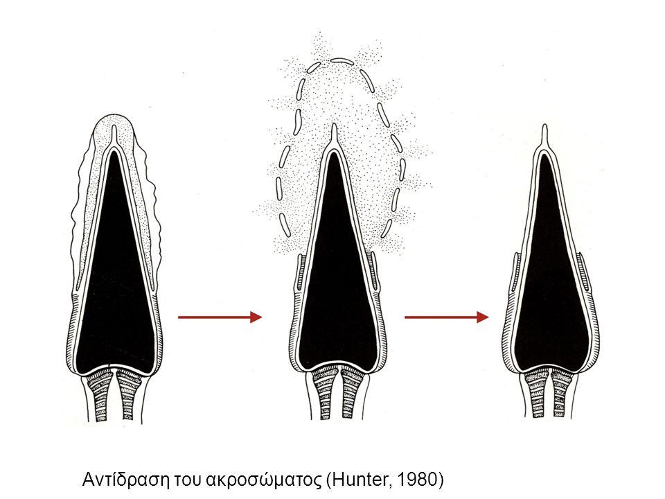 Αντίδραση του ακροσώματος (Hunter, 1980)