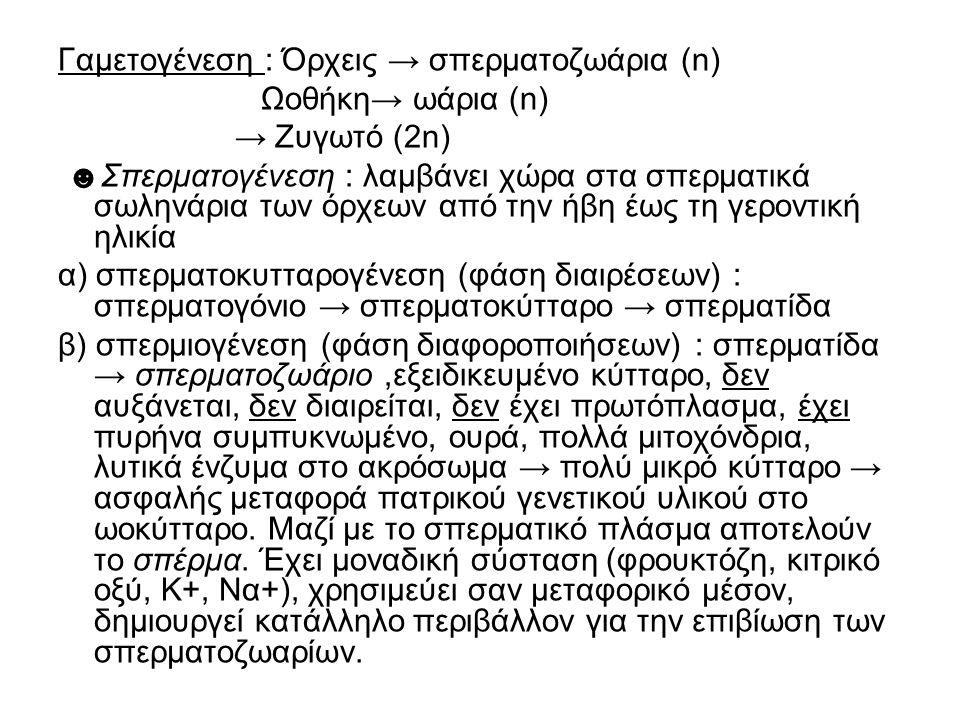 Γαμετογένεση : Όρχεις → σπερματοζωάρια (n)